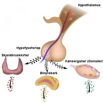 Hypofysen, Hypothalamus & stofskiftet