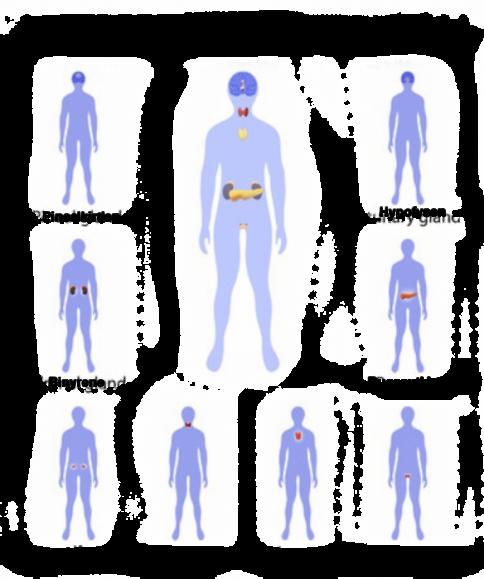 Samspillet mellem vores organer og skjoldbruskkirtlen