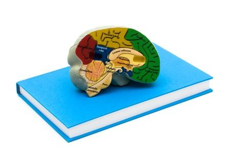 Stofskiftehormoner er afgørende for udvikling af lillehjernen hos fostre